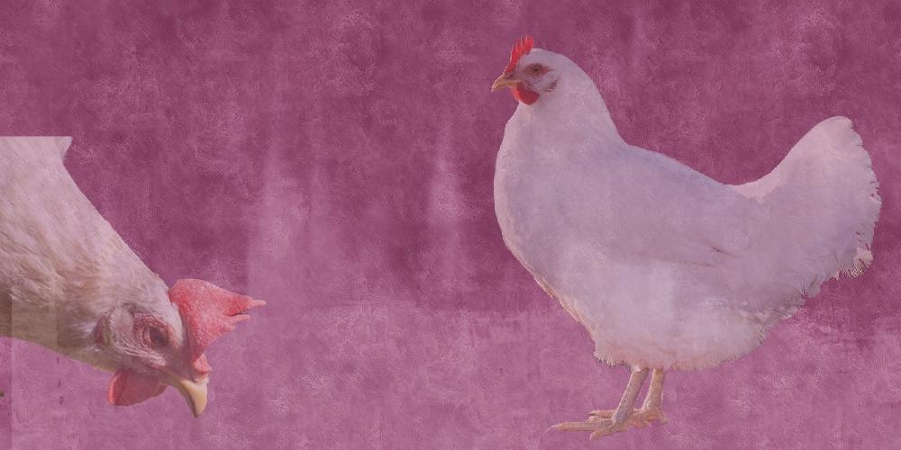 www.dare2think.dk/images/photoalbum/album_42/1000x500purple_chickens.jpg